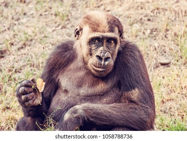 Western lowland gorilla - Gorilla gorilla gorilla - is posing. Animal scene. Red photo filter.