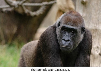 A western lowland gorilla in profile
