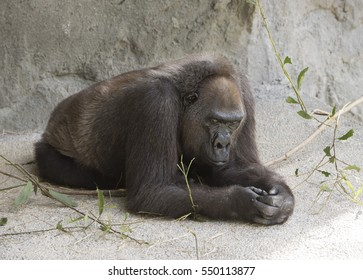 Western lowland gorilla resting on gray stone and concrete with sparse branches.