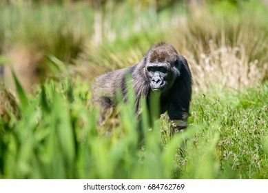 The western lowland gorilla is the smallest subspecies of gorilla but nevertheless still a primate of exceptional size and strength