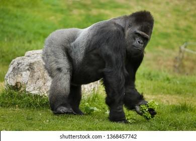 Western lowland gorilla (Gorilla gorilla gorilla). Wild life animal.