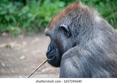 Western Lowland Male adult Gorilla close up