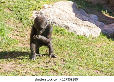 A western lowland silverback baby gorilla, eating grass