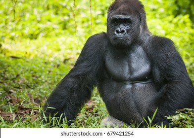 Western lowland silverback gorilla enjoying the evening