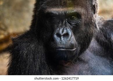 Western male gorilla sitting in a zoo.