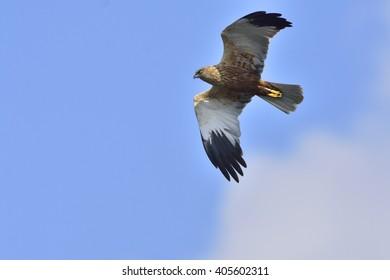 Western marsh harrier against blue sky