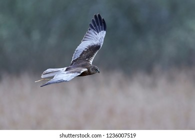 Western marsh harrier (Circus aeruginosus) harrier in its natural habitat