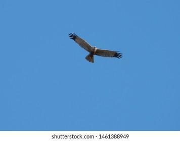 western marsh harrier Circus aeruginosus flying against clear blue sky