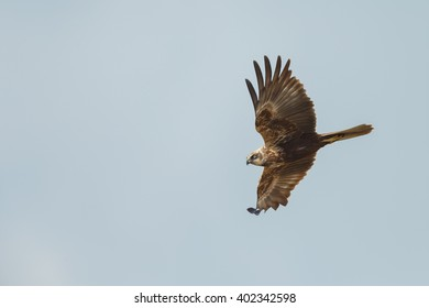 The western marsh harrier (Circus aeruginosus) in flight during mating season