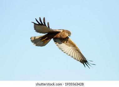 Western marsh harrier closeup. Bird of prey hunting in flight.