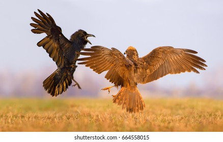 Western Marsh Harrier and Common Raven fight against each other in air with spreaded wings and tails