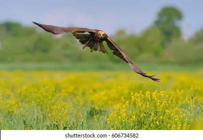 Western Marsh Harrier flying over the blossoming field