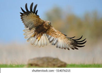 Western Marsh Harrier landing