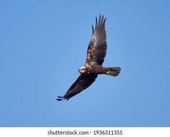 Western Marsh-harrier flying against the blue sky (Circus aeruginosus)
