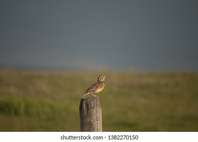 Western Meadow lark singing in spring