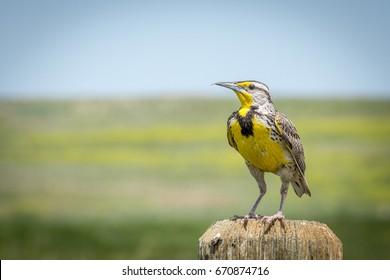 Western Meadowlark bird