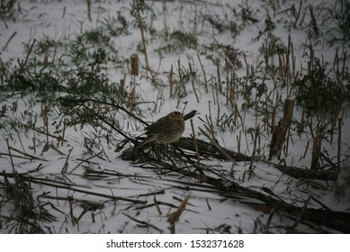 Western Meadowlark in the first snowfall of 2019 fall
