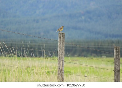 Western Meadowlark with Grub on Fence, Montana