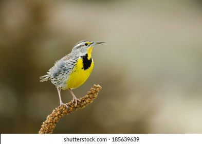 A Western Meadowlark perched on shrub, Colorado, spring time.