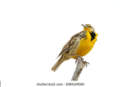 A Western Meadowlark perched in a tree near Hamer, Idaho.