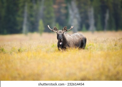 Western moose (Alces alces andersoni) with the mouth open letting his tongue hang out. Alberta, Canada, North America.