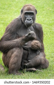 Western mountain Gorilla mother and baby