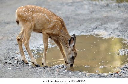 A western mule deer fawn (Odocoileus hemionus) drinks from a puddle of water in the Curry Village area of Yosemite National Park in California.