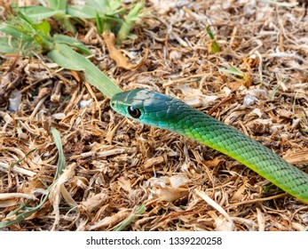 Western Natal Green Snake (Philothamnus occidentalis)
