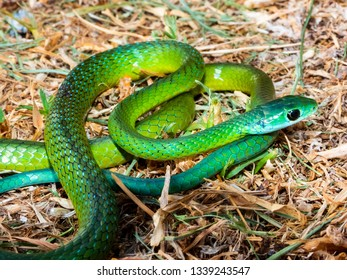 Western Natal Green Snake (Philothamnus occidentale)