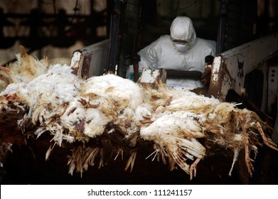 WESTERN NEGEV, ISRAEL - MARCH 18  2006: Agriculture Ministry worker carry carcasses of dead turkeys due to Bird Flu outbreak in a forklift at Kibbutz Holit in the western Negev, Israel.