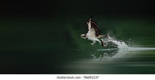 Western Osprey to catch fish