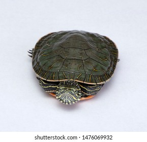 Western painted turtle on white background with details on face