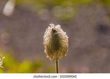 Western pasqueflower seedhead (Anemone occidentalis or Pulsatilla occidentalis), photographed with backlighting against a blurred background, Paradise, Mount Rainier National Park, Washington state.