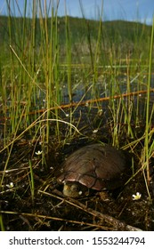 A western pond turtle (Actinemys marmorata) hiding in grass on the edge of a pond in northern California.