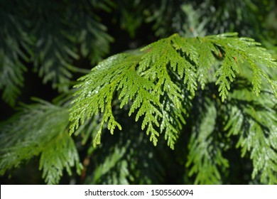 Western red cedar branch - Latin name - Thuja plicata