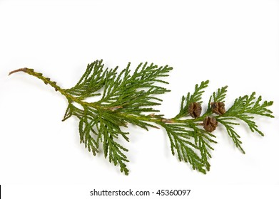 Western Red Cedar branch with tiny cones isolated on white background