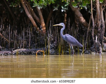 Western Reef Heron bird in eastern mangroves Abu Dhabi, UAE