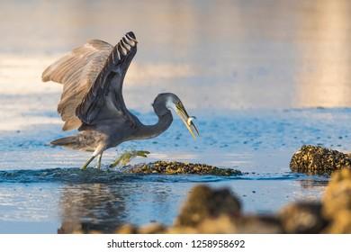 Western reef heron fishing at the shore of Kabini river.