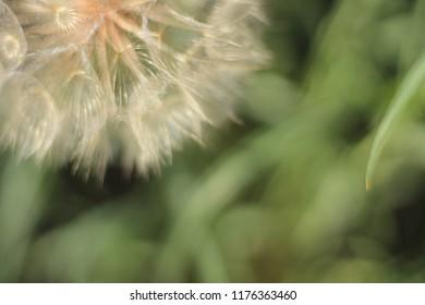Western Salsify Seed Head