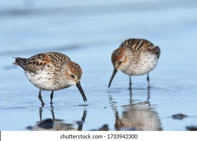 A Western Sandpiper feeds along the shores of Kachemak Bay during the spring migration from the Pacific coast to the Yukon Delta.