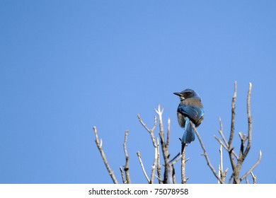 Western Scrub Jay, Aphelocoma californica