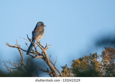 Western Scrub Jay in Canyonlands