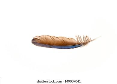 Western Scrub Jay Feather