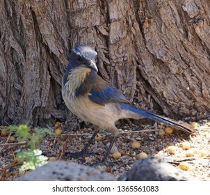 Western Scrub Jay in front of a Tree Trunk.