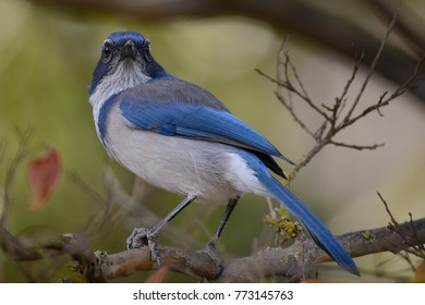 A western scrub jay looking back over shoulder perched on a limb