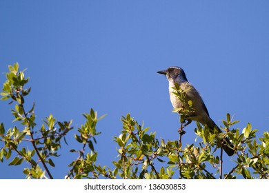 Western Scrub Jay near the Kern River in Sequoia National Forest in California