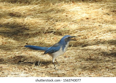 Western scrub jay with a peanut in his mouth, Potwisha Campground, Sequoia National Forest, California.