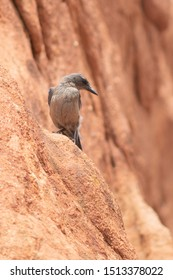 Western Scrub Jay perched atop the eroded rocks of the Garden of the Gods, Colorado