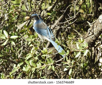 Western scrub jay perched in the green foliage with a peanut in his mouth, Sequoia National Forest, California.