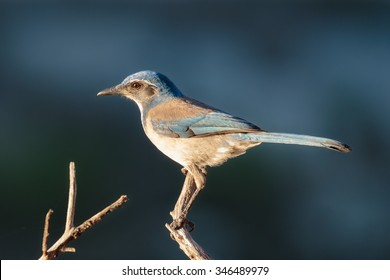 A Western Scrub Jay at sunrise on the lake shore.